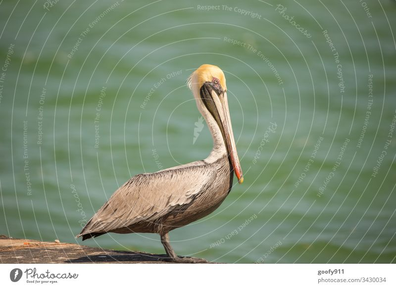 Pelican in the Florida Keys birds Colour photo Exterior shot Animal Wild animal Beak Nature Animal portrait Grand piano Animal face Feather Close-up Water