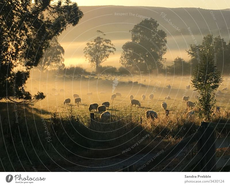 Sheep graze in a misty paddock as the sun begins to rise autumn morning sheep farm misty morning Peaceful Sunrise with fog golden hour Rural Scene