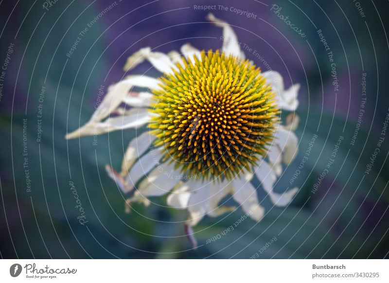 faded flower Flower Cornflower Yellow White Plant Limp withered Close-up Old Season Summer Autumn Life Nature