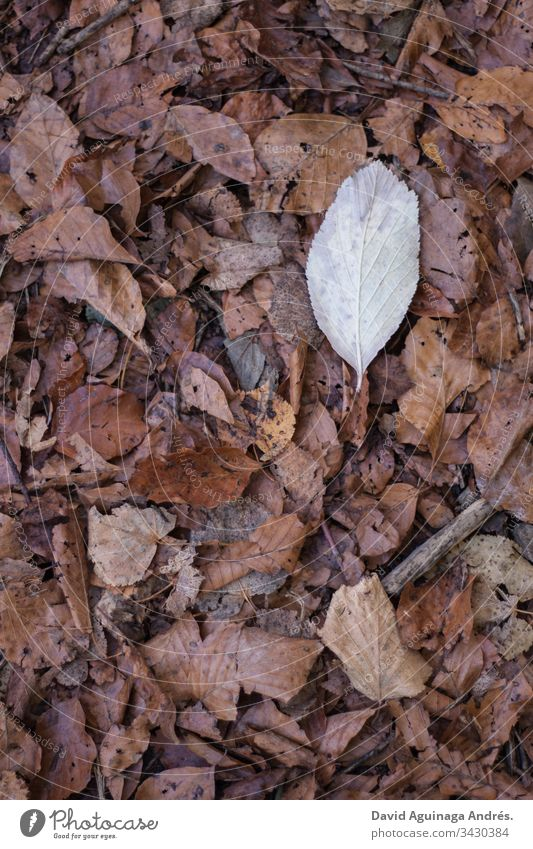 White leaf on a sheet of dry leaves in autumn Leaf Brown Autumn Sheet Dry Nature Autumn leaves Autumnal colours Tree cicle Transience Exterior shot Sunlight
