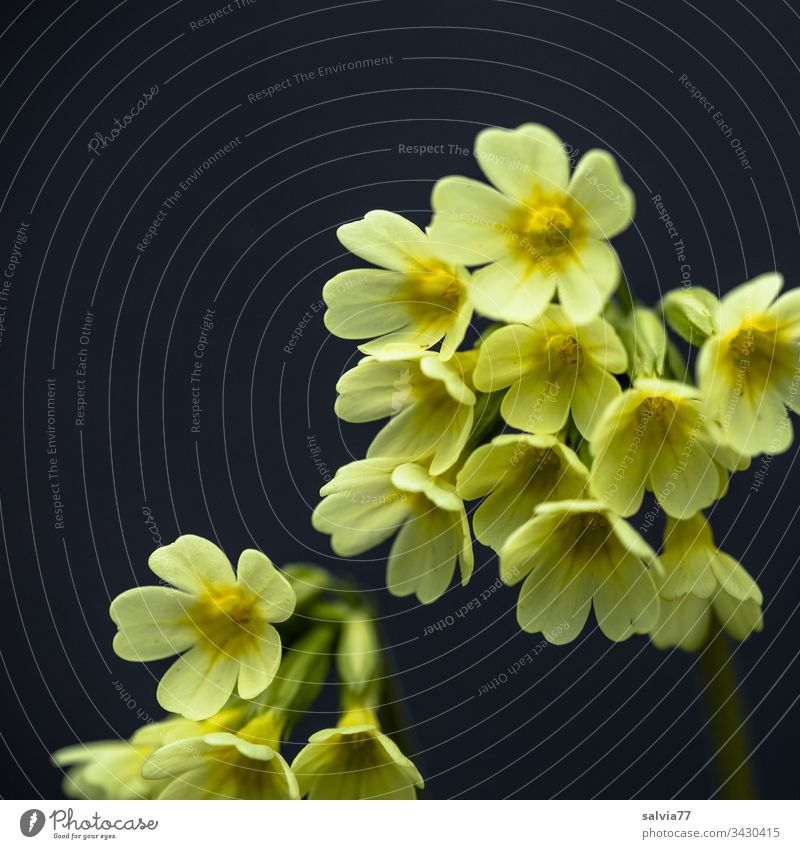 yellow primrose in front of black background Nature Plant Flower Blossom Macro (Extreme close-up) Yellow Close-up Spring Colour photo Exterior shot