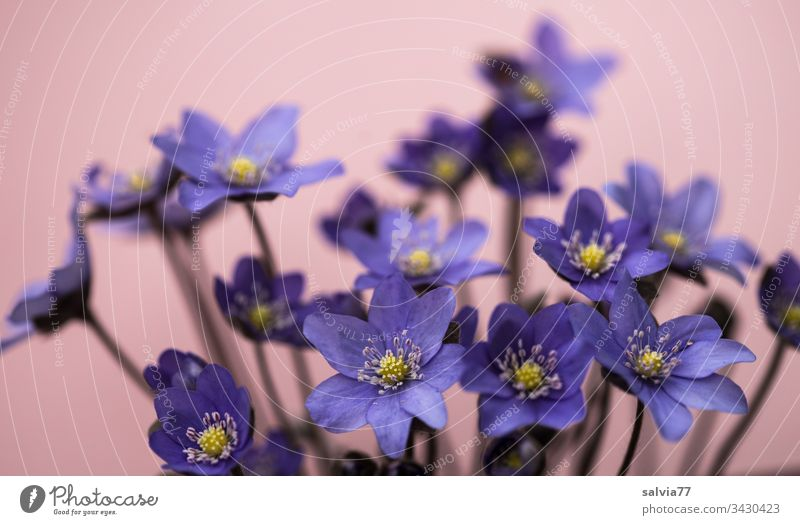 blue liverworts Flower Nature Blossom Hepatica nobilis Spring Neutral Background Isolated Image Close-up Deserted Copy Space top Blossoming Exterior shot