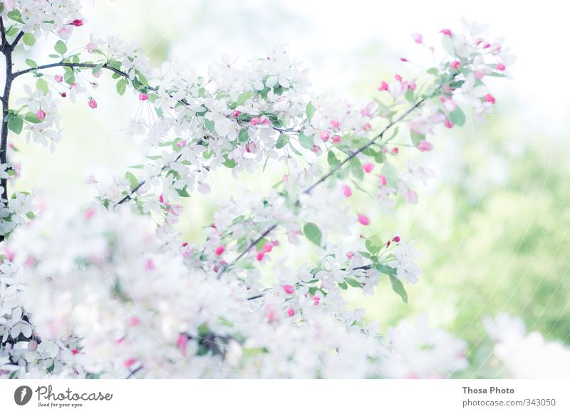 snow white Nature Spring Summer Tree Blossom Foliage plant Green Pink Red White Cherry Colour photo Close-up Detail Day