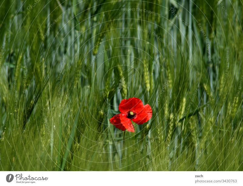 it smells like... l Spring Poppy Meadow Field Wheat Wheatfield Grain Green Agricultural crop Agriculture Exterior shot Nature Plant Colour photo Grain field