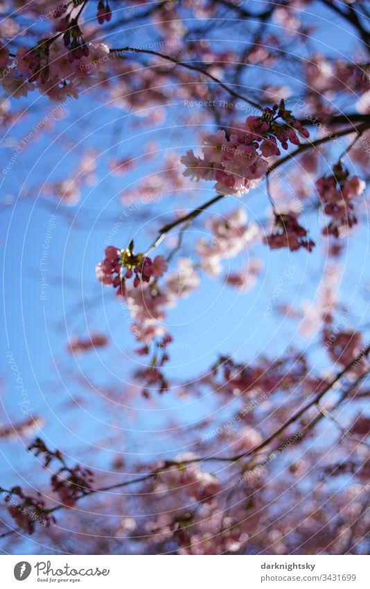 Sakura Japanese cherry blossom with a bright blue sky sakura Spring White Blossom Cherry Pink Seasons Close-up Nature Sky teen Garden Prunus serrulata