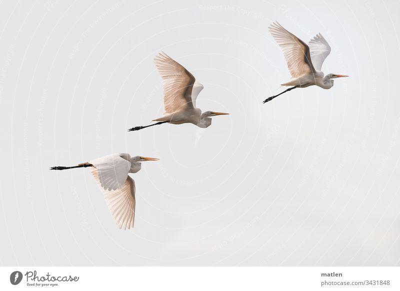 Great White Egret Bird Flock Great egret Flying Deserted Exterior shot Sky Nature Wild animal Day Colour photo Animal trio