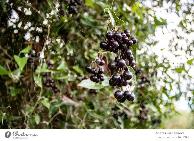 Fruits of the forest nobody ripe nature daytime grape black sweet tasty tree raw branch season plant delicious leaf organic exotic freshness food outdoor
