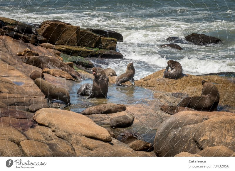 I am the lord of the puddle the sea lion roars on the rock, the surf rolls on unimpressed fauna sea lions Waves Surf Ocean Water White crest Deserted Coast Rock