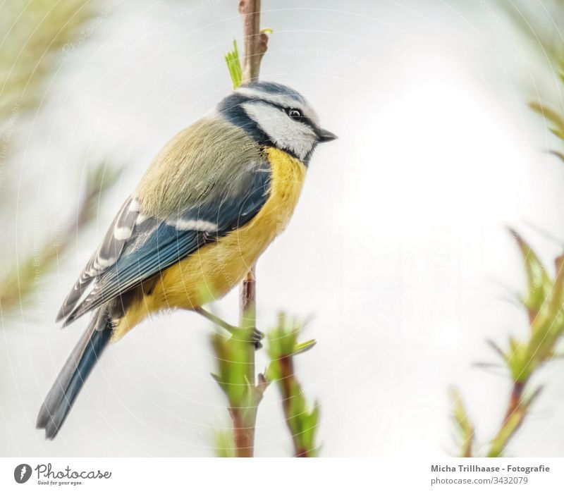 Blue tit on a branch Tit mouse Cyanistes caeruleus Bird Animal face Head Beak Eyes Feather Plumed Grand piano Claw Wild animal Twigs and branches