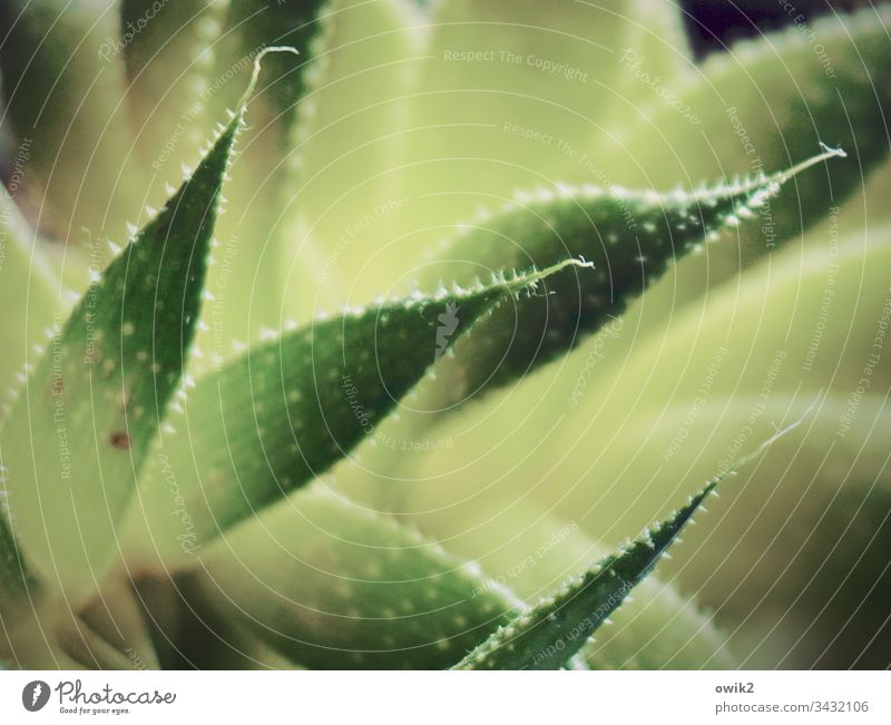 prickly Agave leaves peak Thorny shallow depth of field Nature Green Plant Close-up Colour photo Exterior shot Deserted Detail real Exotic Succulent plants