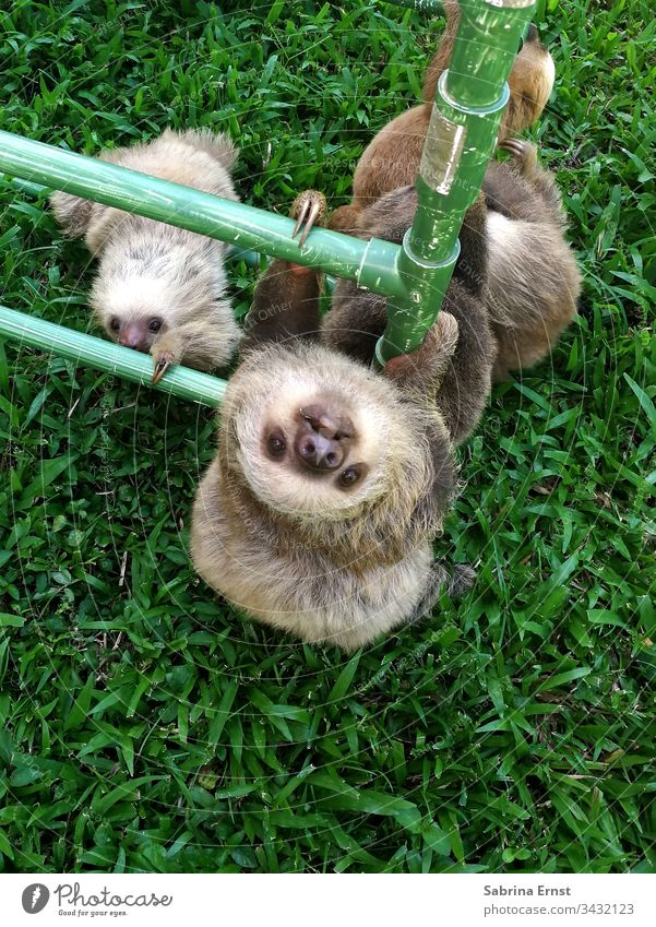 Sloth baby climbs a pole Baby Sloth sloth baby sloth Cute Fluffy Pelt Nature animal world Wild Green cute baby sloth cute sloth fluffy sloth Looking animals