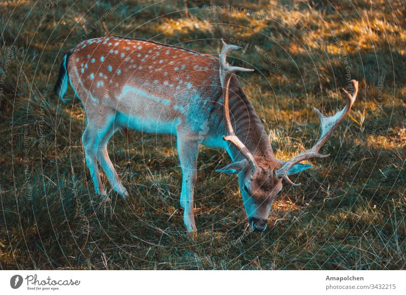 Fallow deer grazing Hunting Deer Fawn Roe deer Wild animal Forest Woodground Autumn Spring Environment Nature Home country young animal To go for a walk Animal