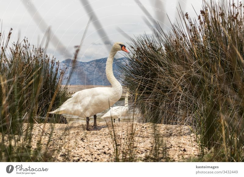 Whooper swan in natural habitat. Swans are birds of the family Anatidae within the genus Cygnus wild cygnus cygnus cygnus nature lake wildlife white water