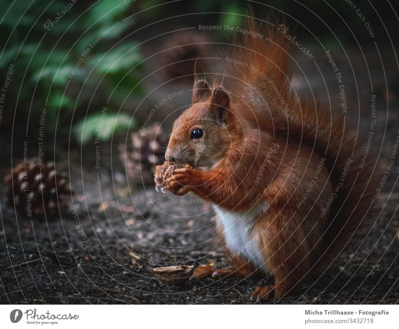 Eating squirrel on the forest floor Squirrel sciurus vulgaris Wild animal Animal face Pelt Rodent Paw Claw Forest Tails Ear Animal portrait To feed Fir cone