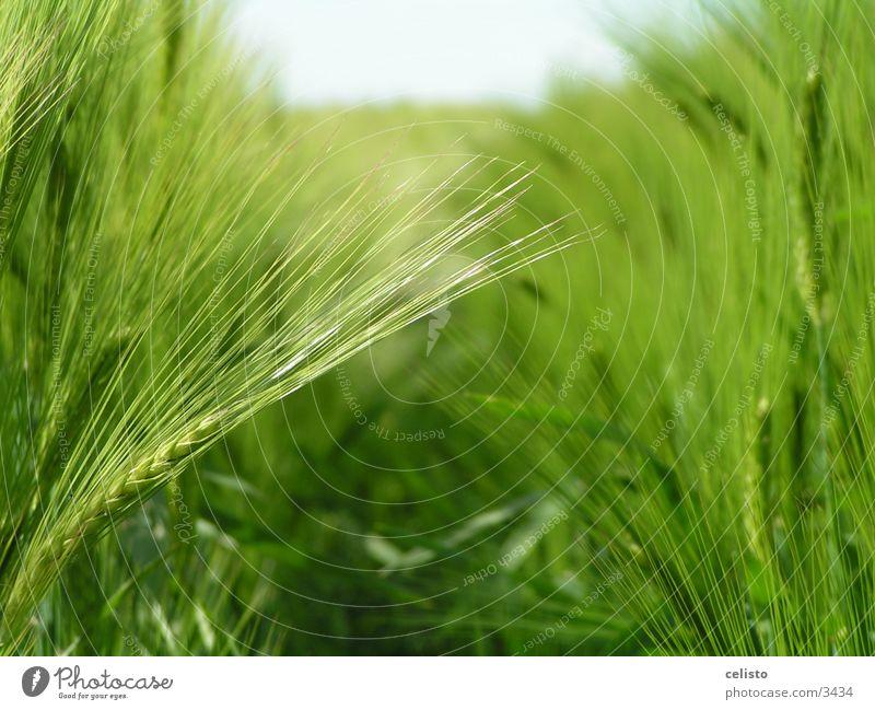 barley field Field Barley Green Meadow Harvest Landscape