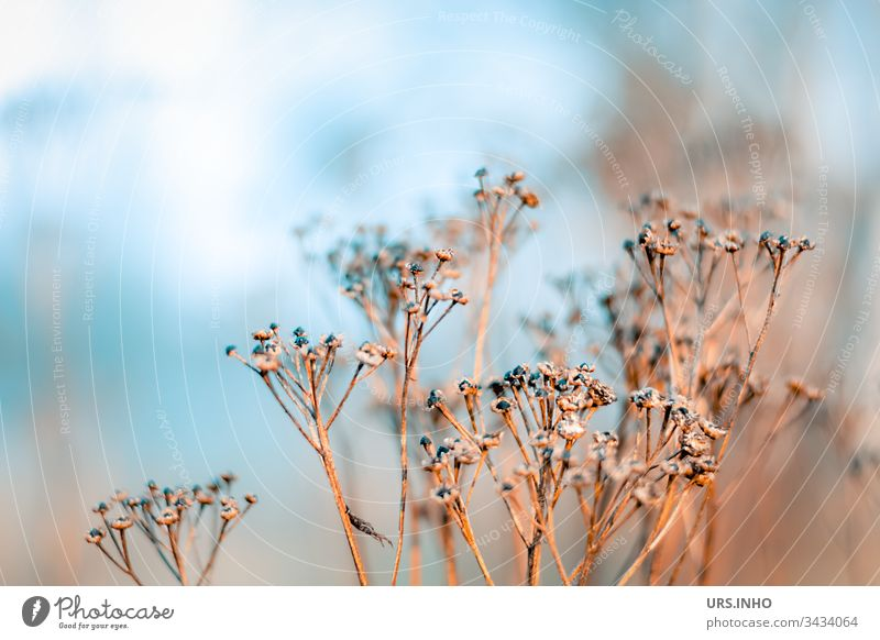 dried-up wild herb in the morning mist weed Shriveled inflorescence Beige Blue light blue spring from last summer buds Faded Withered arid Dry