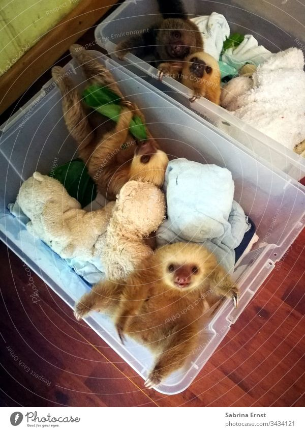 Cute sloth baby in a box Sloth Baby Sloth cute sloth Pelt Fluffy Laundry Nature Wild Costa Rica Baby animal Box Sweet Beautiful Lovely Newborn Crate baby sloth