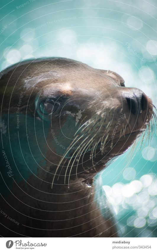 seal Animal Wild animal Animal face Zoo Looking Wait Cold Curiosity Blue Brown Turquoise White Anticipation Harbour seal Exterior shot Copy Space top Day