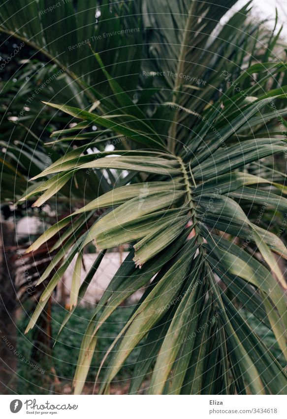 Leaves of a palm tree in warm light Palm tree vacation palm leaves travel tropics Tropical Nature Vacation & Travel Plant Deserted Exotic Exterior shot