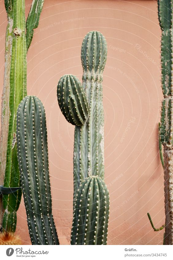 Cactus in front of pink wall Plant Botanical gardens Amsterdam Contrast Botany Interior shot Greenhouse flaked Colour photo green Growth Virgin forest Exotic