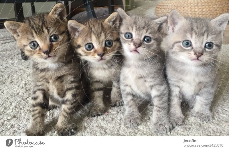 Four at one blow putty Cat Brothers and sisters naïve Kitten Cat lover cattery Livestock breeding Cute Sweet Brash look Observe inquisitorial saucer-eyed