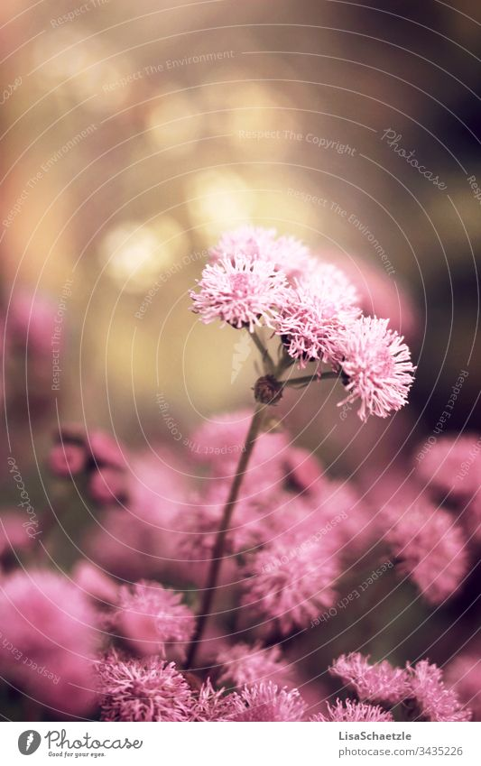 Close-up of a pink plant in the garden in front of a blurred background. Flower Nature Plant Summer Field green Spring come into bloom flora Beauty & Beauty