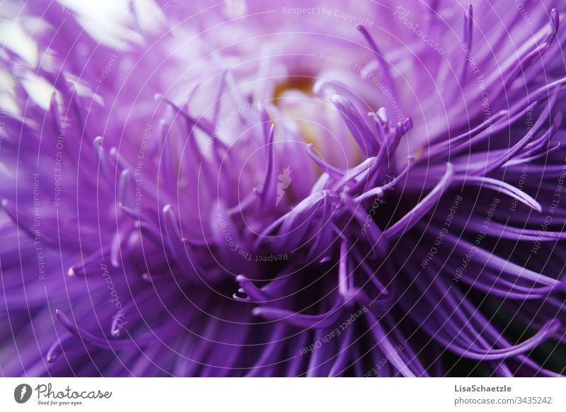 Close-up of purple plant in the garden. Abstract forms and fine petals. Flower Nature Plant Summer Field green Spring come into bloom flora Beauty & Beauty