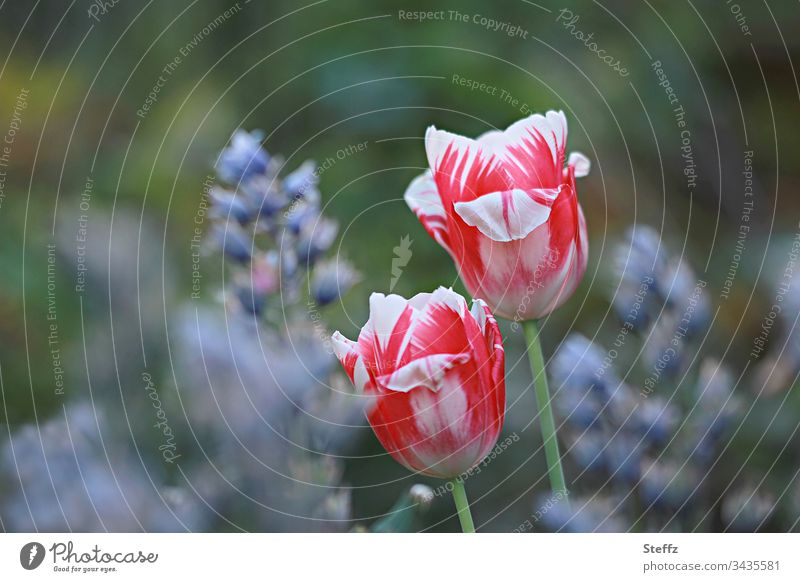 Two red and white tulips in the spring garden Tulip two Reddish white Garden Spring Flower Blossom Nature Multicoloured White Plant Blossoming daylight bokeh