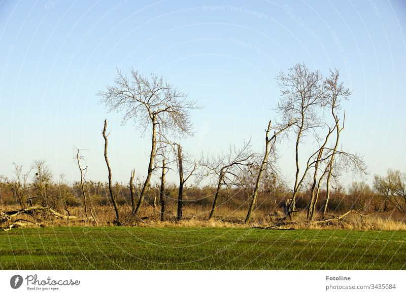 Not perfect but still beautiful - or trees on a meadow in the nature reserve Drömling Tree Nature Exterior shot Landscape Deserted Environment Colour photo Day