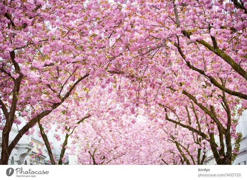 Japanese cherry blossom, sea of blossoms in the Heerstraße in Bonn, Germany, splendid blossoms, Japanese cherry Blossoming blossoming Cherry blossom