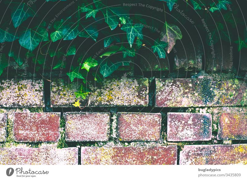 Brick wall whose upper edge is overgrown with ivy Wall (barrier) brick Ivy ivy leaf ivy vine Plant Overgrown interstices Colour photo Exterior shot Day Green