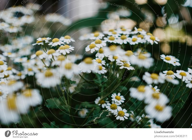 Full size flowering camomile bush Chamomile herbs medicinal plant Plant Deserted Herbs and spices Exterior shot Green Healthy Camomile blossom Yellow Summer