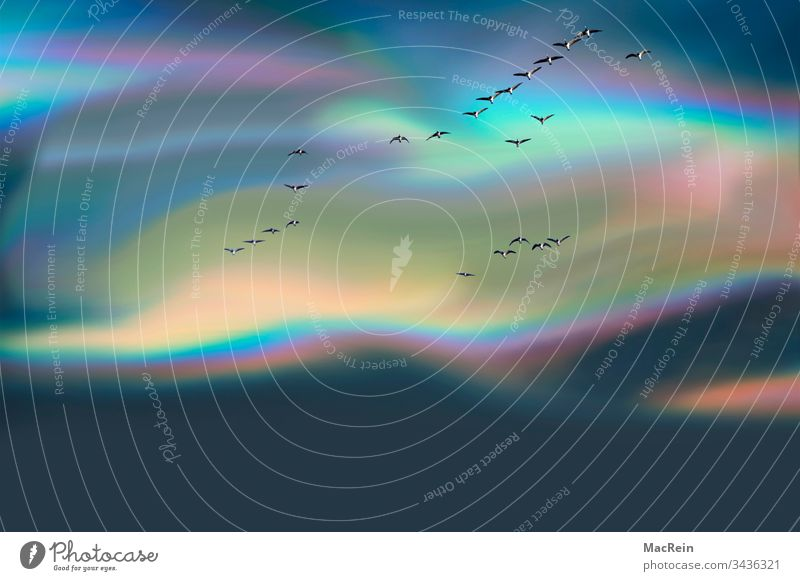 Coloured polar sky with grey geese aurora polaris northern lights Sky Horizon colored Flying Copy Space birds coloured sky Weather Lighting