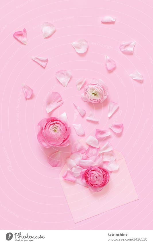 Pink ranunculus flowers and envelope on a light pink  background petals spring romantic pastel flat lay monochrome composition roses top view above concept
