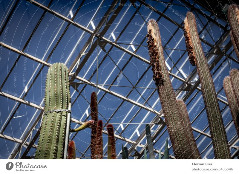 Large cacti in a greenhouse under a glass roof Greenhouse Botanical gardens biodiversity rearing Exhibition Plant Nature Botany Interior shot Environment