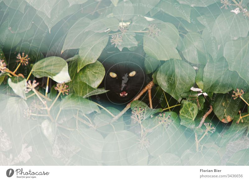 hissing black cat with shining eyes looks out of its hiding place through a hole in the hedge Cat hangover Snarl shrubby Animal Pet Animal face Looking Cat eyes