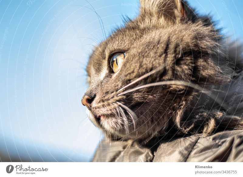 Gray fluffy domestic cat with huge yellow-green eyes. The concept of pets. Banner for the site. banner gray free playful cheerful animal kind claws scratches
