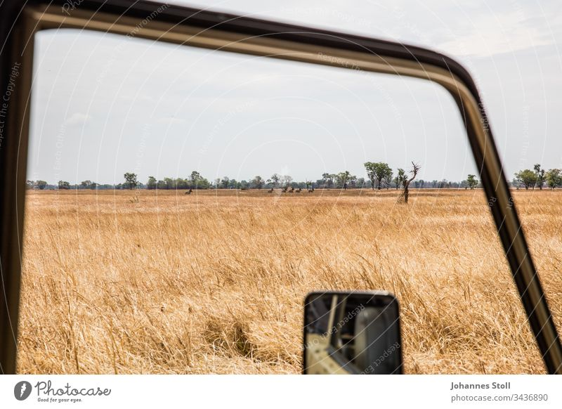 View from safari jeep to African steppe with free-ranging zebras Safari Off-road vehicle Car Window Rear view mirror grass Steppe Field acre Drought Savannah