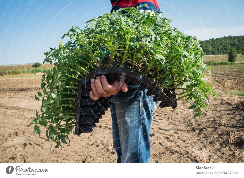 Man farmer planting young tomatoes plants farmers field vegetable garden agriculture green farming nature organic gardening growing blue sky plantation