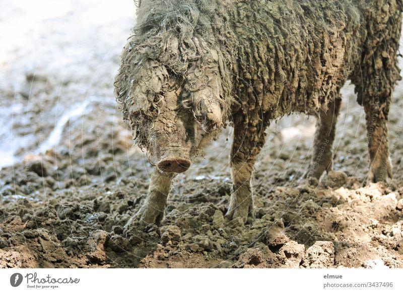 Hungarian Mangalitza pig Mangalica pig Wool pig Sheep-pig animal portrait Gourmet meat Dirty Free-range rearing undemanding Rabbit's foot Farm animal