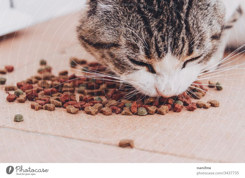 Little tabby cat eating his food pet feed industrial european common cat domestic domestic animal mammal hungry alley cat pet care feeding close up health
