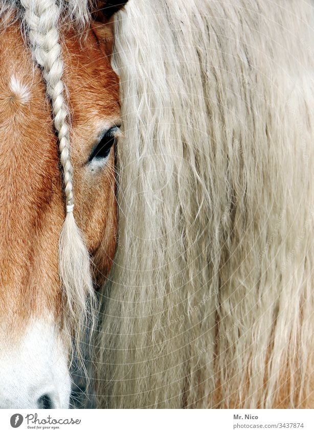 You have beautiful hair Horse Horse's head Pony Braids Plaited Animal Animal portrait Mane Farm animal Pelt Hair and hairstyles Equestrian sports Coat care