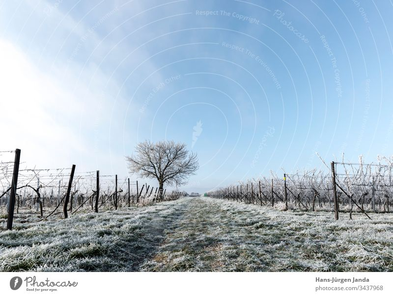 Vines and nut tree in frost Frost Ice Snow Cold White Frozen vines wingert grapes Winter Tree Branch Germany Rhineland-Palatinate Field Meadow Clouds leafless