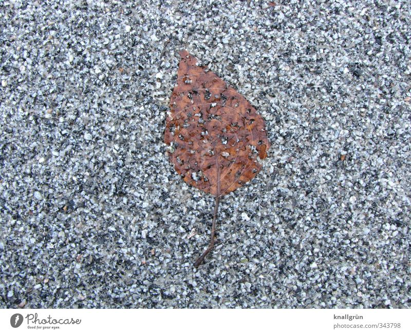 Leaf, flat! Nature Plant Street Lie Natural Brown Gray Emotions Loneliness End Decline Transience Asphalt Autumn Level Fossil Colour photo Subdued colour