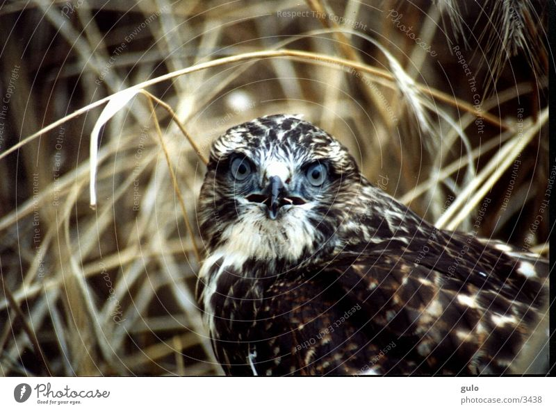 Field Bird Shock Bird of prey Hawk
