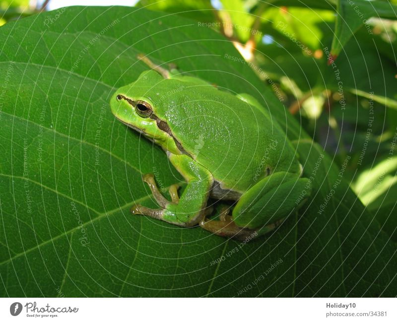 tree frog Tree Tree frog Leaf Green Frog Close-up Amphibian