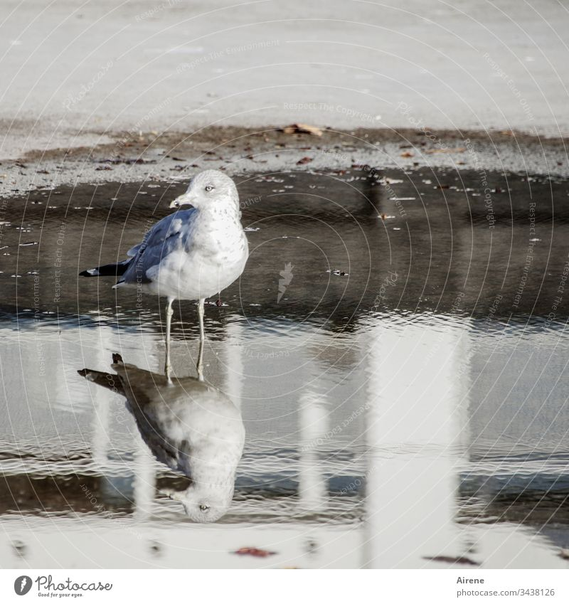 two waterbirds Seagull Gull birds reflection Puddle Animal Nature Day Deserted Wild animal Asphalt Street Sunlight Light Bright White Skeptical skepticism