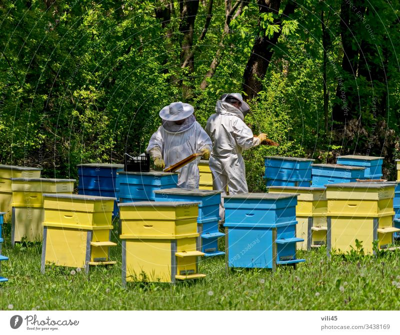 Two bee-masters  in veil at apiary work among hives two beekeeper bee-garden insect animal man nature tree forest field box beeswax hiver colony honey buzzing