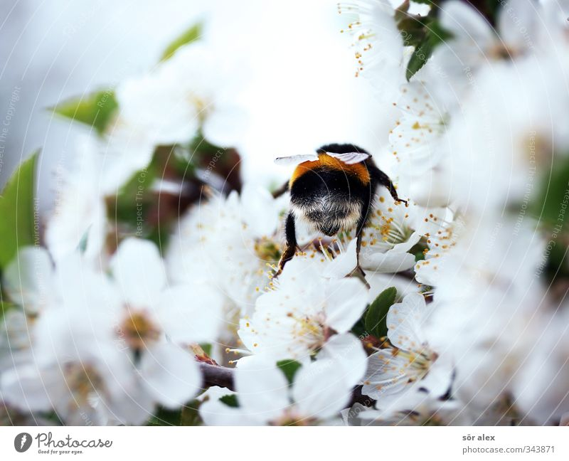 Season Environment Nature Spring Beautiful weather Blossom Wild animal Bumble bee Insect 1 Animal Flying To feed Friendliness Fresh Positive Green Black White