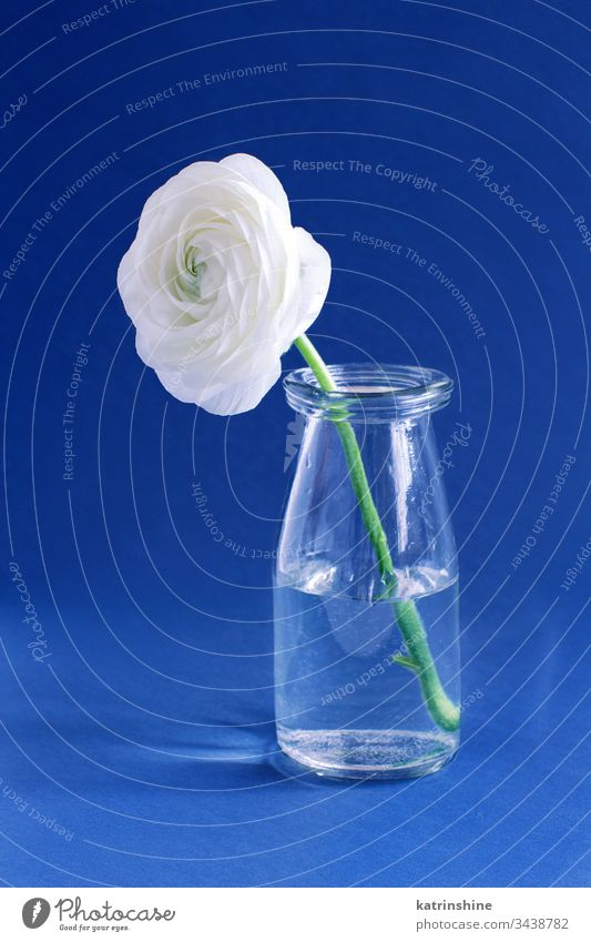 Spring composition with a white flower in a glass bottle on a blue background freesia water romantic close up concept creative day classic blue decor decoration